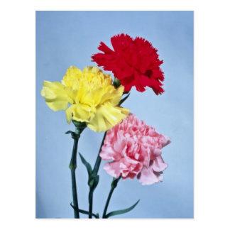 Estudio rojo del clavel en las flores blancas tarjeta postal