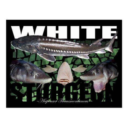Esturión-Collage-Postal blanca Tarjetas Postales