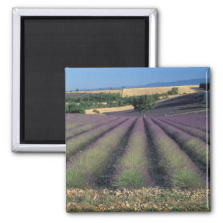 EU, France, Provence, Lavender fields 2 Magnet