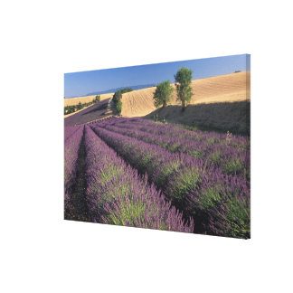 EU, France, Provence, Lavender fields 3 Canvas Print