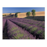 EU, France, Provence, Lavender fields 3 Postcards