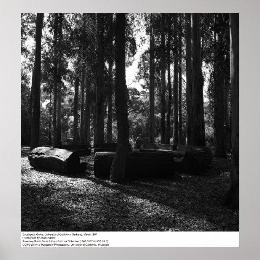 Eucalipto Grove, Uc Berkeley, 1967 Impresiones