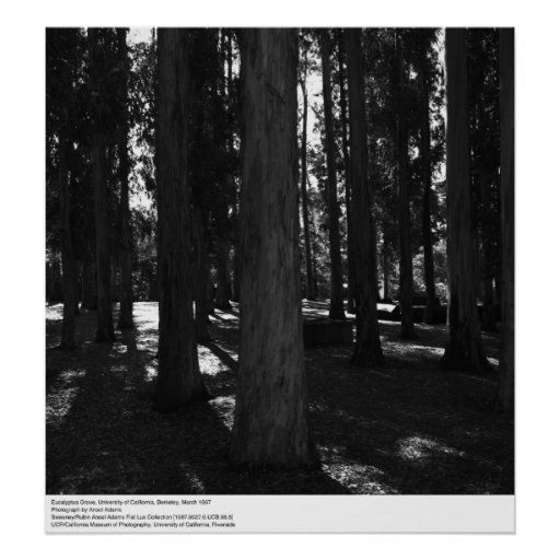 Eucalipto Grove, Uc Berkeley, 1967 Posters