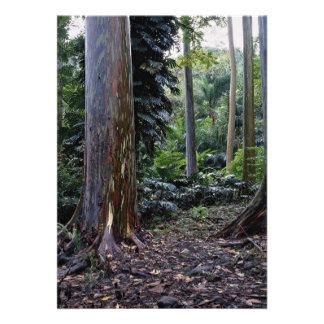Eucalipto pintado de la corteza Maui Hawaii Comunicados Personales