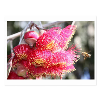 Eucalyptus caesia with Honey bee Postcard