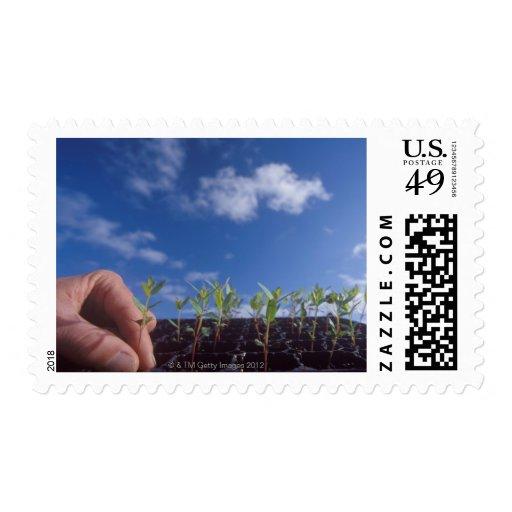 Eucalyptus Globulus (Bluegum) tree seedlings. Stamps