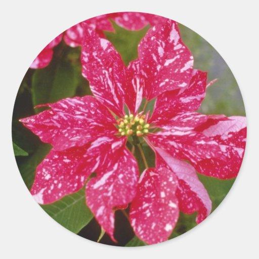 "Euforbio rosado Pulcherrima ""Jingle Bell"" Pegatina Redonda"