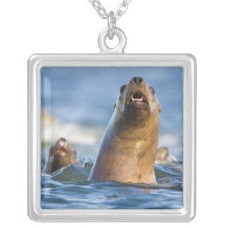 Eumetopias estelar agresivo de los leones marinos colgante cuadrado