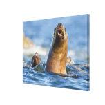 Eumetopias estelar agresivo de los leones marinos impresión en lona