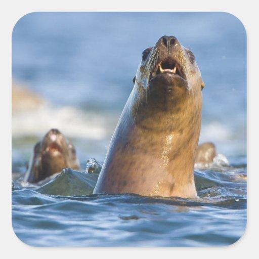 Eumetopias estelar agresivo de los leones marinos pegatina cuadrada