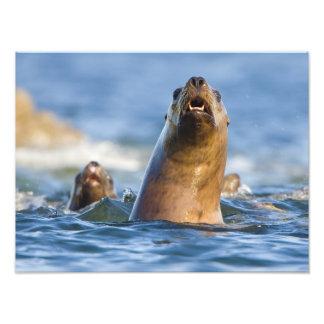 Eumetopias estelar agresivo de los leones marinos fotografias