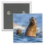 Eumetopias estelar agresivo de los leones marinos pin cuadrada 5 cm