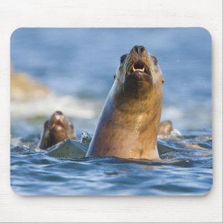 Eumetopias estelar agresivo de los leones marinos tapetes de raton