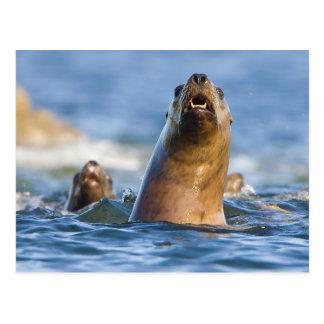 Eumetopias estelar agresivo de los leones marinos tarjetas postales