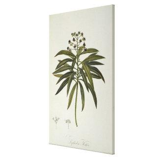 Euphorbia Mellifera Stretched Canvas Print