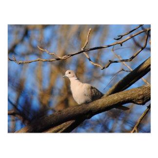 Eurasian Collared Dove Postcard