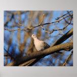 Eurasian Collared Dove Print