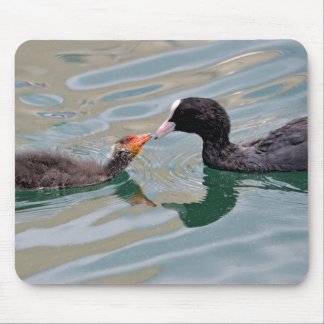 Eurasian Coot and young Mouse Pad
