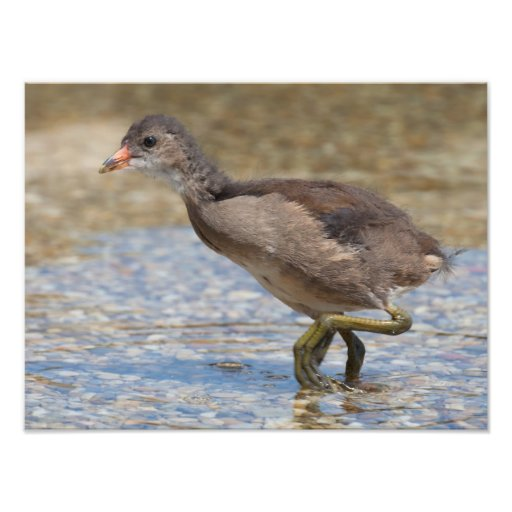 Eurasian Coot Young Chick Photo Print
