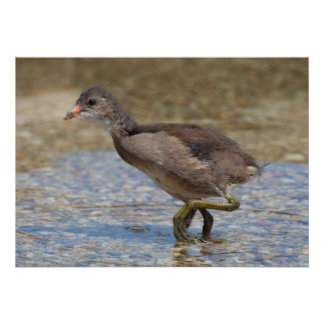 Eurasian Coot Young Chick Poster