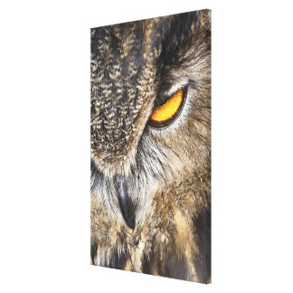 Eurasian Eagle Owl (Bubo bubo) Gallery Wrapped Canvas