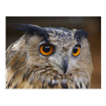 Eurasian Eagle Owl Postcards