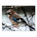 Eurasian Jay on a Snowy Branch Postcards