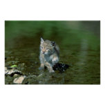 Eurasian lynx, young kitten playing in water poster
