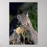 Eurasian lynx, young kitten poster