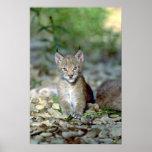 Eurasian lynx, young kitten print