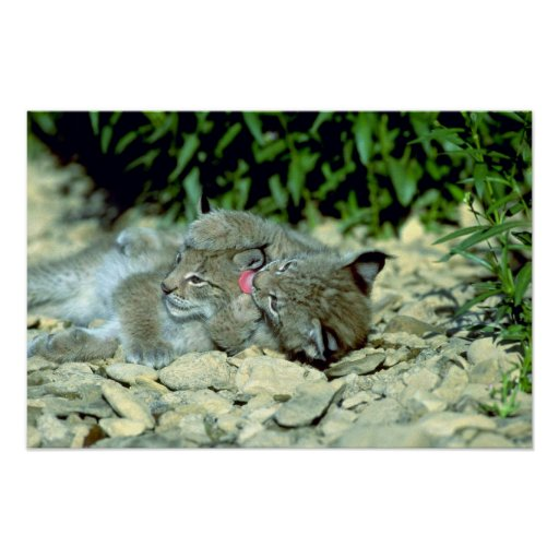 Eurasian lynx, young kittens playing poster