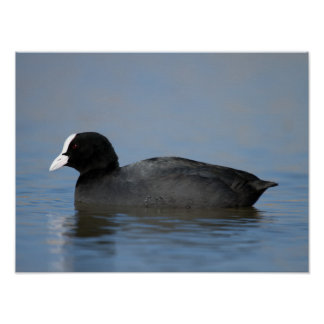 Eurasian or common coot, fulicula atra, portrait o poster