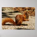 Eurasian red squirrel print