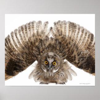 Eurasian Scops-owl - Otus scops (2 months old) Poster