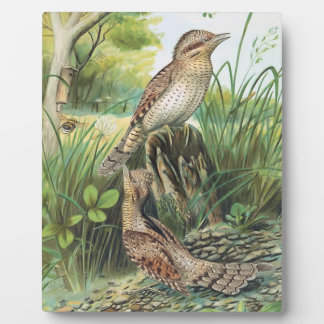 Eurasian Wryneck Vintage Bird Illustration Photo Plaques