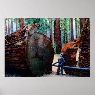 Eureka California Fallen Giant Tree Posters