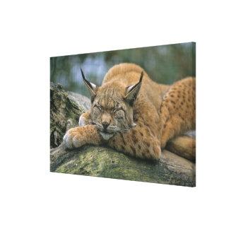 Europ�_ischer Luchs, Eurasischer Luchs (Lynx Canvas Print