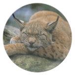Europ�_ischer Luchs, Eurasischer Luchs (Lynx Dinner Plate