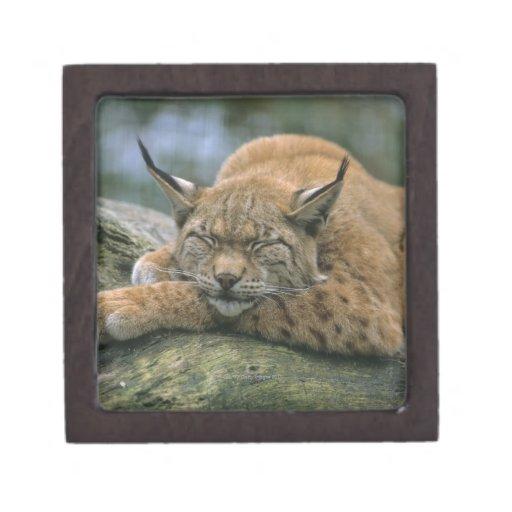 Europ�_ischer Luchs, Eurasischer Luchs (Lynx Gift Box