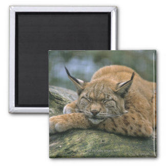 Europ�_ischer Luchs, Eurasischer Luchs (Lynx Magnet