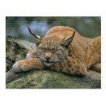 Europ�_ischer Luchs, Eurasischer Luchs (Lynx Postcard