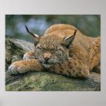 Europ�_ischer Luchs, Eurasischer Luchs (Lynx Poster