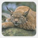 Europ�_ischer Luchs, Eurasischer Luchs (Lynx Square Sticker