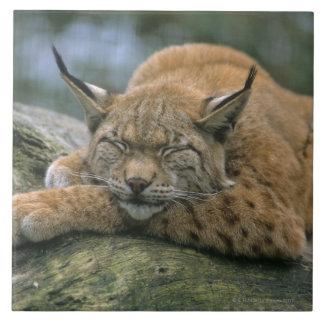 Europ�_ischer Luchs, Eurasischer Luchs (Lynx Tile
