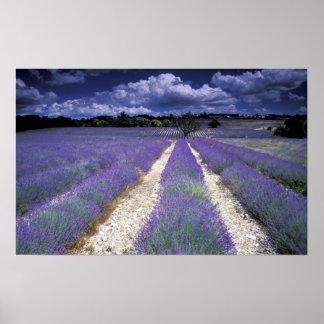 Europa Francia Provence Campos de Lavander Impresiones
