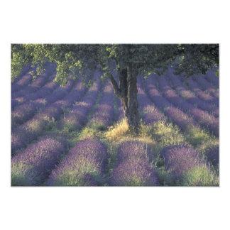 Europa, Francia, Provence, Sault, lavanda Arte Fotográfico