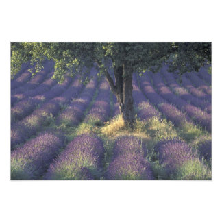 Europa, Francia, Provence, Sault, lavanda Fotografia