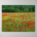 Europa, Italia, Toscana, amapolas rojas en campo Póster