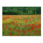 Europa, Italia, Toscana, amapolas rojas en campo Postal