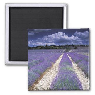 Europe, France, Provence. Lavander fields 2 Inch Square Magnet